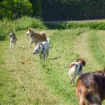 Berger allemand, épagneul, berger suisse et akita avec croisé beagle