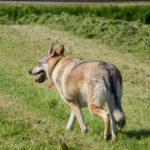 Chien-loup slovaque qui marche dans un champ