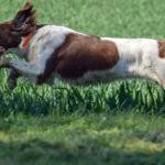 Epagneul qui sprinte dans un champ