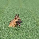 Belle photographie d'un Berger Allemand dans un champ