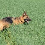 Berger allemand caché dans les hautes herbes