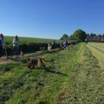 Berger allemand et Beagle en balade avec d'autres chiens