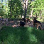 Bullmastiff avec un Berger allemand et un Berger portugais