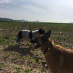 Un Malinois avec un Border-collie dans un champ