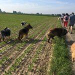 Un malinois en compagnie de chiens de berger