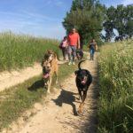 Un malinois accompagné d'autres chiens en balade
