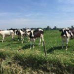 Rencontre avec des vaches