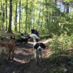 Epagneul dans les bois avec Malinois et Berger allemand