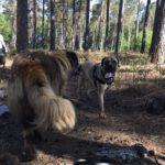 Bullmastiff avec Chien de montagne portugais