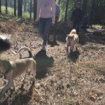 Akita avec un croisé beagle