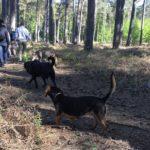 Beagle, labrador et berger allemand qui se promènent