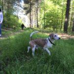 Petit croisé beagle en exploration