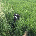 Border collie caché dans les herbes