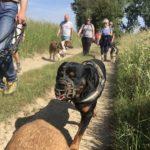 Rottweiler en balade canine