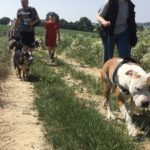 Staffordshire terrier américain en balade