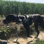 Croisé Dogue allemand