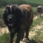 Un chien de montagne portugais avec un Mâtin espagnol
