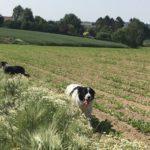 Un border-collie dans un champ avec un berger australien