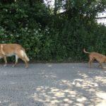 Malinois en compagnie d'un petit chien