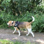 Un beagle avec son harnais