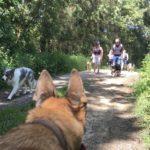 Un Malinois observant les autres chiens