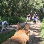 Malinois qui regarde les autres chiens