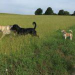 Un chien-loup tchèque avec un rottweiller