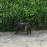 Petit chien bringé