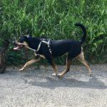 Grand chien croisé avec son harnais