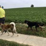 Un Akita avec un Rottweiler