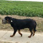 Rottweiler qui marche le long d'un champ