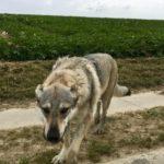Gentil chien-loup tchécoslovaque