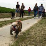 Bulldog anglais galopant sur un chemin