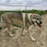 Chien-loup tchèque foulant les sentiers de terre