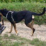 Rottweiler se promenant avec d'autres chiens