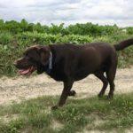 Labrador et chemin de campagne