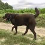 Labrador sur un chemin de campagne