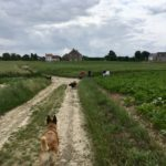 Berger malinois scrutant l'horizon