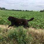 Labrador chocolat courant le long des cultures