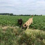 Malinois et Labrador découvrant les cultures