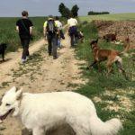 Berger blanc suisse et Berger malinois en promenade