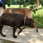 Labrador retriever plein de boue