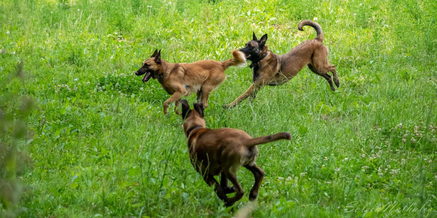 Joyeuse course canine dans les prairies