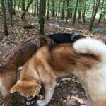 Akita jouant avec deux autres chiens dans les bois