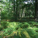Etendue de fougère au milieu de la forêt