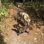 Chien Loup tchécoslovaque qui rencontre un autre chien