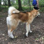 Akita foulant le sol d'une forêt