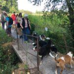 Bull-terrier, Bergers australiens et Border collie sur un pont