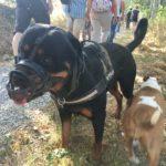 Rottweiler et Bull-terrier qui marchent dans l'herbe