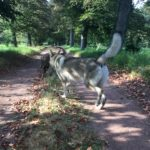 Chien-loup tchécoslovaque sur une route arborée